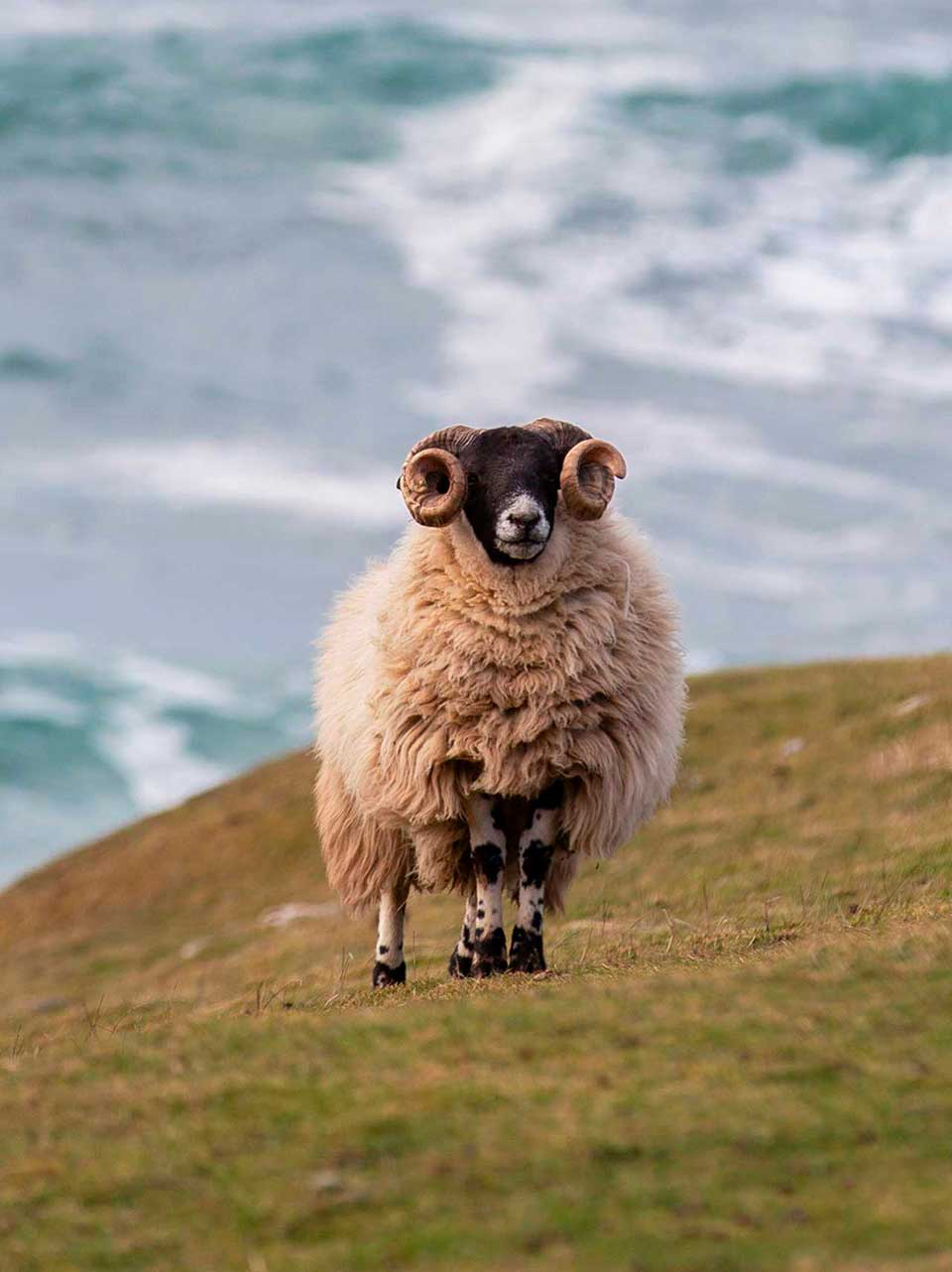 Harris Sheep near Loomshed Brewery